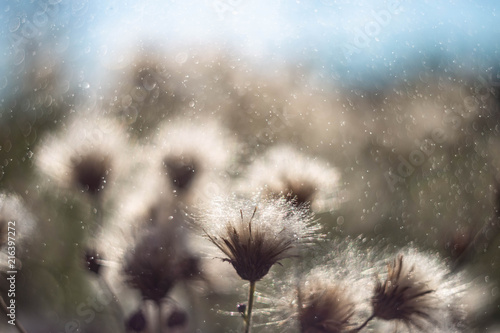 Canvas Paardenbloemen the Thistle field with blurred background