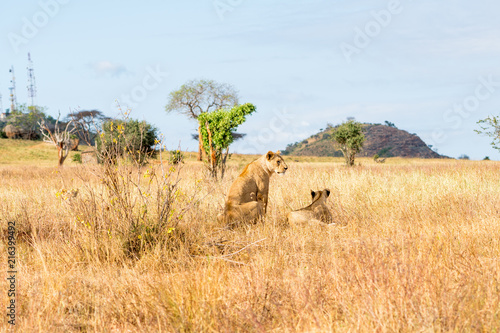 Canvas Blauwe hemel Lions in Kenya, Africa