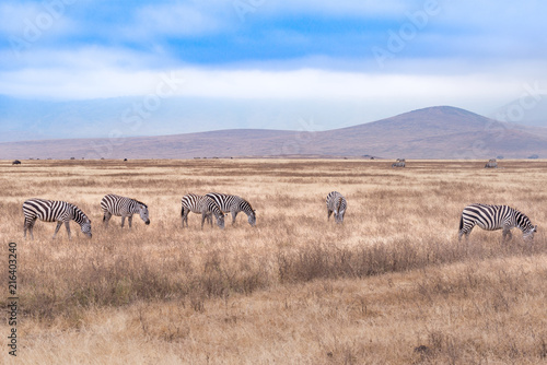 Foto Spatwand Zalm A herd of zebra in Serengeti National Park,Tanzania
