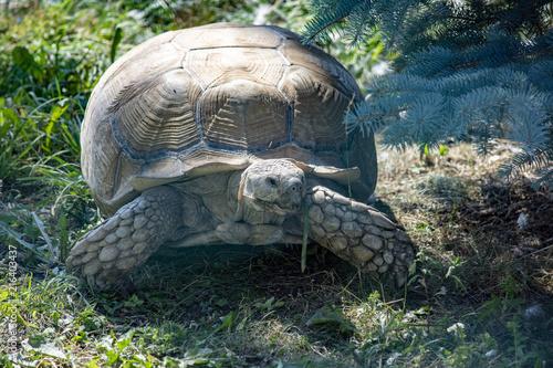 Foto Spatwand Schildpad giant turtle