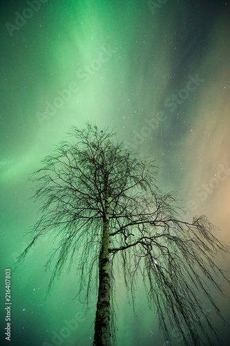 In de dag Noorderlicht Aurora Borealis corona above lonely birch tree. Branches blurred by the wind during the 15 sec. exposure.