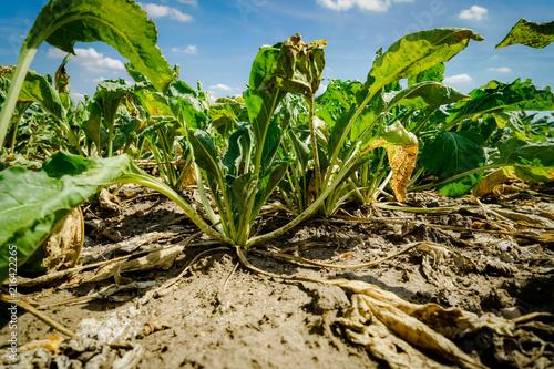 Trockenheit - Dürre, kümmernde Zuckerrüben durch Wassermangel und Hitze