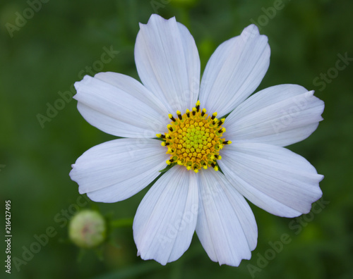 Foto Murales White flower close-up in the garden
