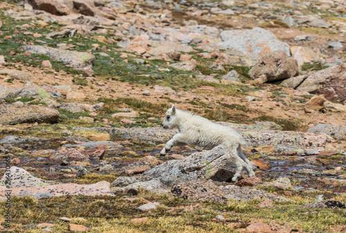 Fototapeta Cute Mountain Goat Kid