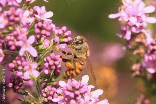 In de dag Bee African Honey bee visiting tiny blue flowers