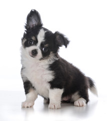 female chihuahua puppy © Willee Cole