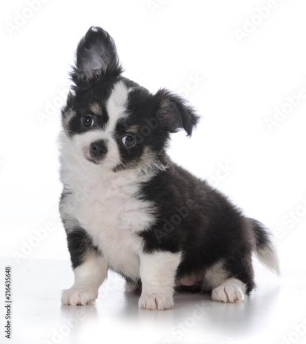 female chihuahua puppy