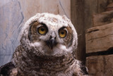 Great Horned owl face - 216436253