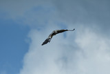 Heron isolated flying on the blue heaven