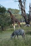 Giraffe - 216438001