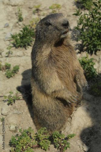 Canvas Nice marmotte dans les alpes en france
