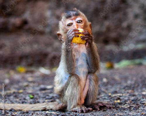 Foto Spatwand Aap Monkey stood up eating