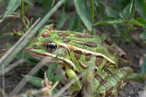Foto Spatwand Kikker huge green frog