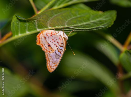 Foto Murales isolated macro image of fancy butterfly, shallow depth of field