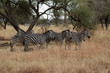 A group of Zebras in Tanzania