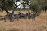 A group of Zebras in Tanzania - 216474660