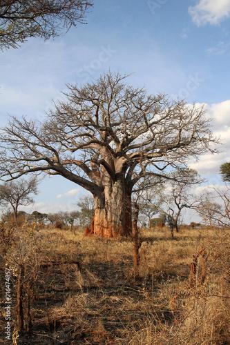Foto Spatwand Baobab A huge Baobab Tree standing in Tarangire National Park Tanzania