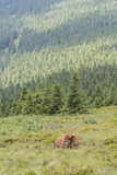 Lying brown cow with large horns on the hillside. - 216478075