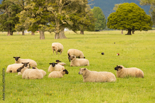 Fotobehang Oranje Sheep fram animal on green glass, New Zealand natural landscape background