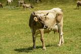 cow and flees on alpine pasture, Cainallo Alp, Italy