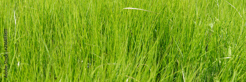 Fresh tall grass. Close-up of the green meadow. Natural background texture - 216483611