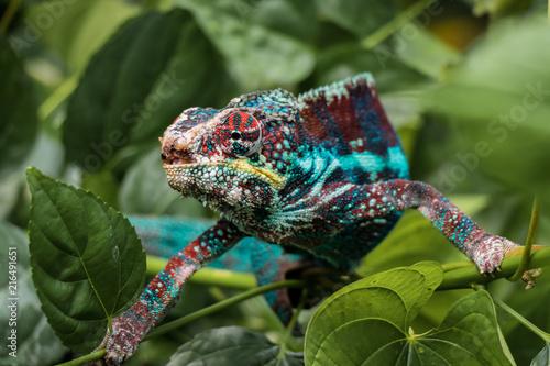Plexiglas Kameleon Chamäleon zwischen Blätter