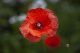 The Red poppy, a perennial herbaceous flowering plant in the poppy family Papaveraceae, often grown for the colourful petals and a symbol of remembrance of World War 1