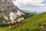 Cows grazing on the stunning mountains in the Italian Dolomites, part of the European Alps in summer