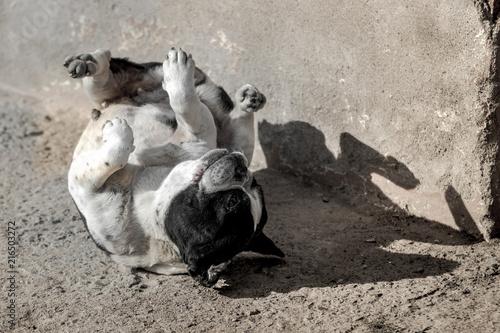 Foto Spatwand Franse bulldog Bulldog francés revolcándose en el suelo panza arriba en plena ola de calor