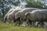 a sheep herd closeup on a meadow
