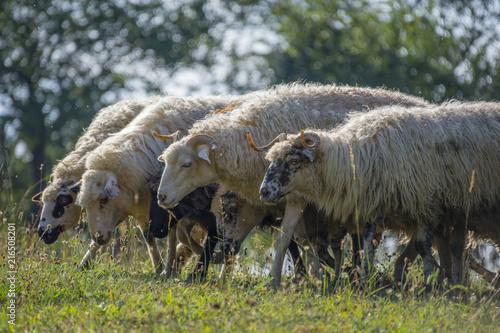 Foto Murales a sheep herd closeup on a meadow