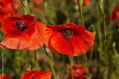Fotobehang Rood traf. Flowers Red poppies blossom on wild field. Beautiful field red poppies with selective focus. Red poppies in soft light. Opium poppy. Natural drugs. Glade of red poppies. Lonely poppy. Soft focus blur