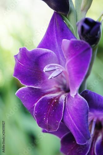 Canvas Iris Gladiole