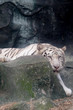 Wildlife of white tiger on rock in the zoo at Thailand