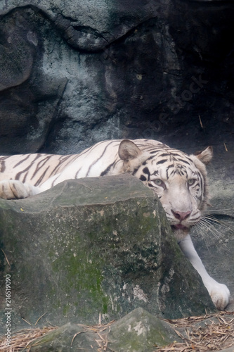 Canvas Tijger Wildlife of white tiger on rock in the zoo at Thailand