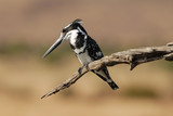 Pied kingfisher on dead tree branch looking to one side
