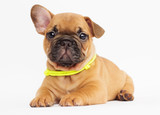 cute puppy of a French bulldog looking at a white background