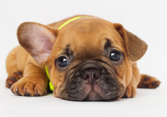 cute puppy of a French bulldog looking