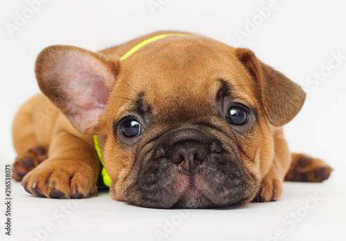 Plakat cute puppy of a French bulldog looking