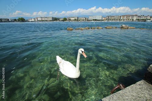 Canvas Zwaan cygne sur le lac léman à genève en suisse