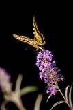 Papilio machaon on black background - 216551074