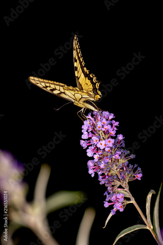 Foto Spatwand Vlinder Papilio machaon on black background