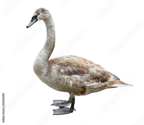 Canvas Zwaan Big grey swan isolated on white background. Swan full-length. Swan close up. River bird.