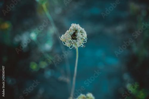 Foto Spatwand Paardenbloemen Dzika roślina chwast