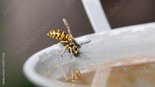 Foto Murales Wespe löscht ihren Durst