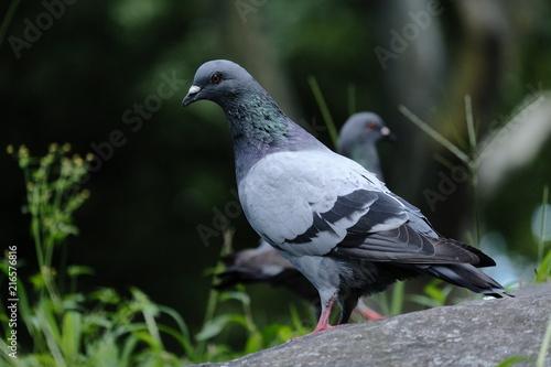 Foto Murales Pigeon