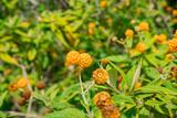 The beautiful Buddleja globosa flower blossom