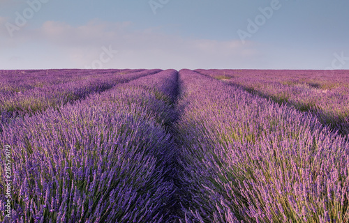 Lavender rows in a field