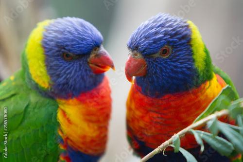 Foto Spatwand Papegaai Pair of Brightly Colored Rainbow Lorikeets