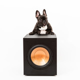 French bulldog with speaker, subwoofer